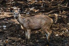 单色的Rusa或水鹿鹿 库存图片