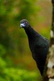 黑单色管国、黑暗的热带海鸟的Chamaepetes,画象与蓝色票据的和红色眼睛,动物在山热带森林里 免版税库存照片