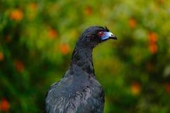 黑单色管国、黑暗的热带海鸟的Chamaepetes,画象与蓝色票据的和红色眼睛,橙色绽放花,在mou的动物 免版税图库摄影
