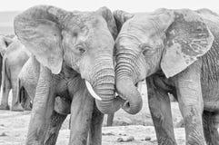 单色非洲大象互动 库存照片