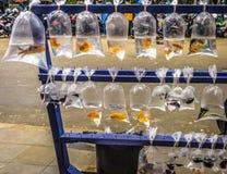 卖在塑料套的美丽的鱼为在茂物拍的装饰鱼照片印度尼西亚 免版税库存图片
