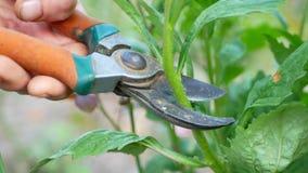 卖花人妇女在有剪的庭院里切开翠菊 股票录像