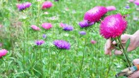 卖花人被切开的紫罗兰色和桃红色翠菊花 股票录像