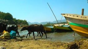 南亚水牛小组,趟过和变冷静在河边小船停车处的水牛人群 影视素材