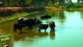 南亚水牛,亚洲水牛在印度,趟过和变冷静在河或池塘的水牛 影视素材