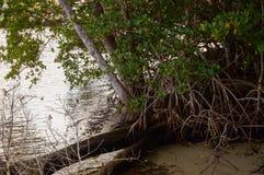 南佛罗里达美洲红树森林  免版税库存照片