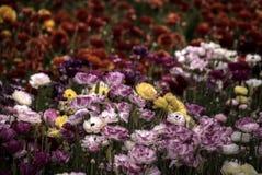 南加州Superbloom毛茛属花 库存图片