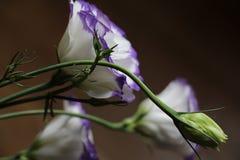 南北美洲香草-美丽的白色和紫色花 库存照片