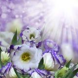 南北美洲香草紫色开花背景(Lisianthus) 免版税图库摄影