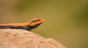 南印地安岩石蜥蜴特写镜头 免版税库存图片