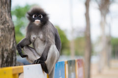 南叶猴或暗淡的叶子猴子是泰国Trachypithecus obscurus的,选择聚焦居民 库存照片