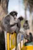 南叶猴或暗淡的叶子猴子是泰国Trachypithecus obscurus的,选择聚焦居民 免版税库存图片