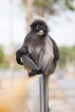 南叶猴或暗淡的叶子猴子是泰国Trachypithecus obscurus的,选择聚焦居民 图库摄影