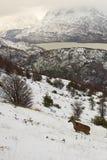 南安地斯山的鹿 免版税库存图片