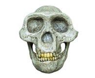 南方古猿属africanus的头骨从非洲的 库存照片