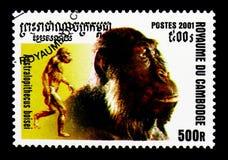 南方古猿属boisei,人类serie的演变,大约2001年 库存图片