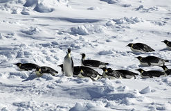 南极企鹅队伍 免版税库存图片