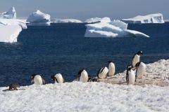 南极洲殖民地gentoo企鹅 库存图片
