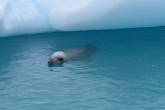 南极洲,在冰山旁边的好奇螃蟹食者封印游泳 库存照片