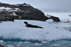 南极洲,在冰山的豹子封印 免版税库存图片