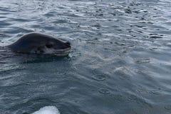 南极洲,游泳在被冰的南极水域中的豹子封印 库存图片