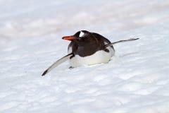 南极洲bobsleighing的gentoo企鹅 免版税库存图片