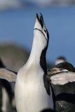 南极洲chinstrap企鹅 免版税图库摄影