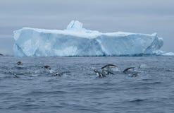 南极洲gentoo、chinstrap、porpoising阿德力企鹅的企鹅和小组狩猎 库存图片