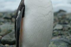 南极洲Gentoo企鹅在与水下落的多岩石的海滩站立在羽毛 库存图片