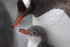 南极洲gentoo父项企鹅年轻人 免版税库存图片