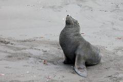 南极海狗, arctocephalus羚羊属,南极洲 图库摄影