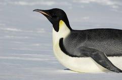 南极滑动的企鹅 库存图片