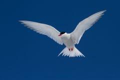 南极燕鸥在蓝天腾飞在晴天 免版税库存照片