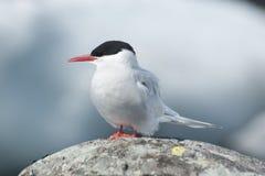南极燕鸥 免版税图库摄影