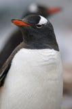 南极特写镜头gentoo企鹅 免版税图库摄影