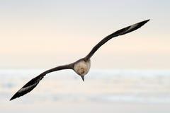 南极的贼鸥 库存照片