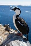 南极蓝眼睛的鸬鹚坐在背景的一个岩石 库存图片