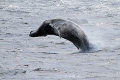 南极驼背跳的鲸鱼 免版税图库摄影