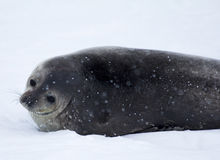 南极洲封印 免版税库存图片