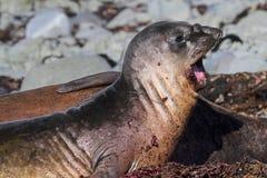 南极洲打呵欠的海象 免版税库存照片