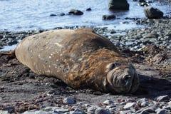 南极洲海象 免版税图库摄影