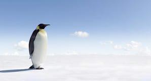 南极洲皇企鹅 库存照片