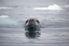 南极洲豹子密封游泳 免版税库存照片