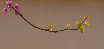 南欧紫荆树的一个开花的分支 免版税库存图片