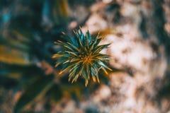 南洋杉一些绿色叶子顶上的看法  免版税图库摄影