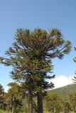 南洋杉,智利的标志 免版税库存照片