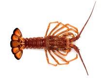 南澳大利亚南部的大螯虾  库存照片