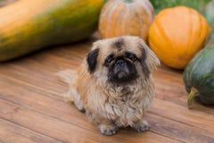南瓜和一条小狗 图库摄影