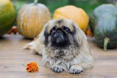 南瓜和一条小狗 免版税库存图片