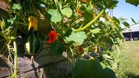南瓜和花卉生长在庭院篱芭 免版税图库摄影